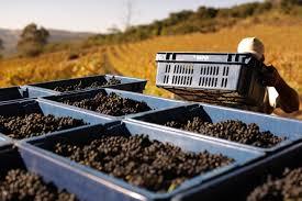 Resultado de imagem para safra uva vinicola