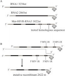 Assessment Classy Assessment Of HIV44 R Recombination Activity In BMV Based In Vivo