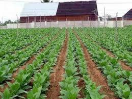 Pinar del Río prepara próxima campaña de tabaco