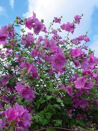 tree mallow tall fluffy leaved plant with club shaped three pointed leaves and purple trumpet shaped flowers in summer