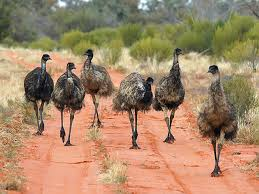 Image result for emus
