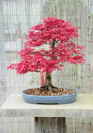 Japanese Maple Growth Chart Japanese Maple Bonsai Tree Care Guide Acer Palmatum