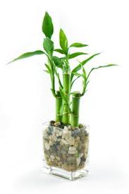 office feng shui plants. looking for an ideal office plant try lucky bamboo with 8 stalks prosperous business put in the consulting corner away from wall of windows feng shui plants t