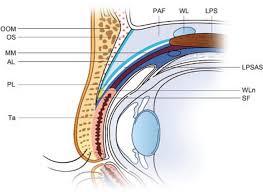 Eyelid Anatomy Schematic Of Upper Eyelid Anatomy Anterior Posterior Layer Of The