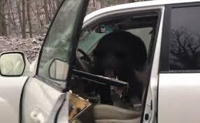 locked car. Bear Gets Locked In Car As Terrified Man Tries To Help. Watch Scary Video