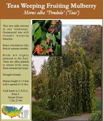 Fruiting Dwarf Black Mulberry Tree  Nature Hills NurseryTeas Weeping Fruiting Mulberry Tree