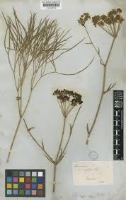 Peucedanum coriaceum Rchb. | Plants of the World Online | Kew ...