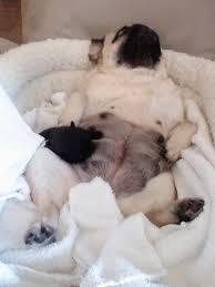 newborn baby pugs.  Newborn Newborn Intensive Care In Baby Pugs R