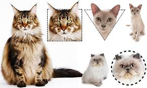 Cat Body Shape Chart Pet Researcher Claims A Felines Features Can Reveal Its