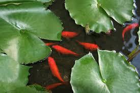 water feature fish maintenance