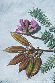 Oxytropis jacquinii Bunge