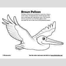 Small Picture Brown Pelican Coloring Page Fun Free Downloads Activity Pages