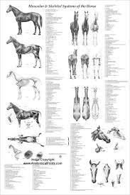 Sztuka Horse Equine Muscle Skeletal Anatomy Veterinary