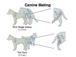 Female Dog Heat Cycle Chart Understanding The Dog Heat Cycle Stages Signs