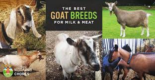 Dairy Goat Breeds 18 Best Goat Breeds For Milk And Meat Production