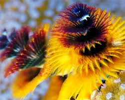 Bizarre Christmas Tree Worms Look Out For Predators Using GILLS Christmas Tree Worm Facts