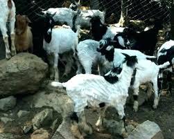 Goat Lice Goat Lice Treatment Techvwant Me