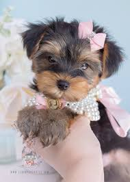 259 teacup puppies toy yorkie puppy