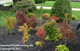 Small Picture A Small Japanese Maple Garden