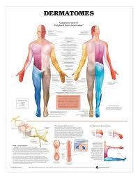 Leg Muscle Innervation Chart Dermatomes Laminated Anatomical Chart