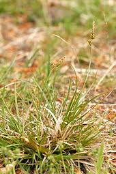 Carex pilulifera - Wikipedia