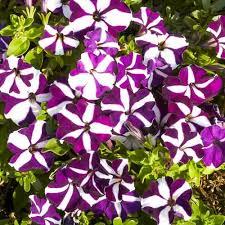 <b>Петуния ампельная Лавина</b> пурпурная звезда F1 (71214): купить ...