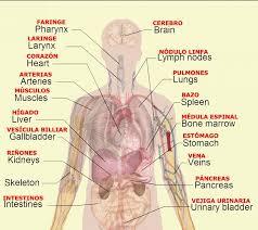 Human Body Parts Chart In English Body Organs Diagram Body Organs Diagram Human Body