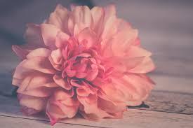 Gratis Afbeeldingen Roze Bloem Bloemen Natuur Romantisch Zoet