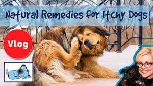 How to Cure Dogs Itchy Skin! 8 Natural Remedies for Itchy Dogs, Cure ...