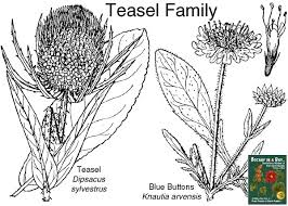 Dipsacaceae: Teasel Family. Identify plants and flowers.