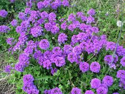 Small Picture China Pe Monofilament Purple Artificial Grass Garden Landscaping