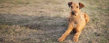 Irish Terrier Weight Chart Irish Terrier Dog Breed Facts And Information Wag Dog