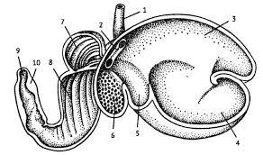 Желудок млекопитающих Зоология Реферат доклад сообщение  Желудок овцы из Наумова Карташова 1979 1 пищевод 2 пищеводный жёлоб 3 5 рубец 6 сетка 7 книжка 8 сычуг 9 пилорус 10 поперечный