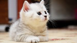 sweet cat love. Modren Cat Sweet Cat Wallpaper On Love
