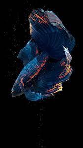 Free download Betta Fish Live Wallpaper ...