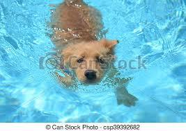 golden retriever puppies swimming. Exellent Retriever Adorable Golden Retriever Puppy Swimming In Golden Retriever Puppies Swimming