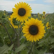 sunflower seeds henry wilde