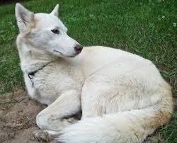 white husky wolf mix. Fine Wolf White Shepherdhusky Mix And Husky Wolf Mix O