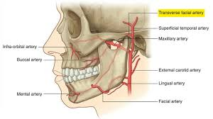 arteries of the face easy notes on transverse facial artery learn in just 3 minutes