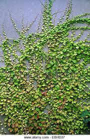 Thorny Problems What Is A Good Climbing Plant To Cover A Wall Wall Climbing Plants India