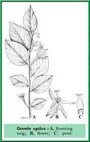 Tiliaceae in Flora of Pakistan @ efloras.org