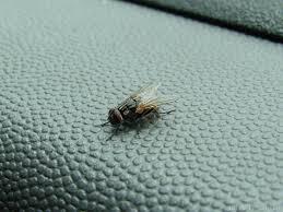Small Black Flying Bugs In Bedroom Flies 6legs2many