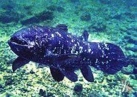 Кистеперые рыбы это один из самых древних видов рыб которых  Кистеперые рыбы это один из самых древних видов рыб которых считали вымершими 70 млн лет назад Но в 1938 году произошла сенсация ученые случайно