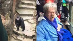 video grandma hit by poop flinging chimp at michigan zoo