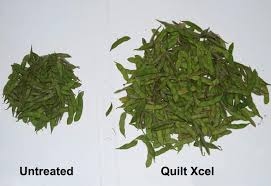 Quilt Xcel Learning Module   Syngenta US & Untreated is 135 pods and Quilt Xcel treated is 421 pods. Pod counts from  four randomly selected plants per trial. Adamdwight.com