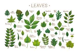 Ohio Leaf Identification Chart Leaves Of North American Trees Field Guide Art Print