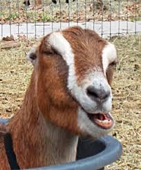 Lamancha Goat Spotlight From Goat Journal Backyard Goats