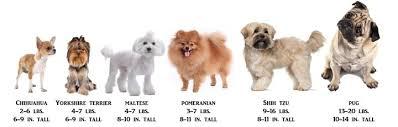 dog breed size chart shih tzu information center shih tzu size
