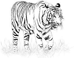 tiger black and white drawing. Fine White Black And White Tiger Vector And Tiger Black White Drawing L
