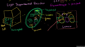 Chapter 8 Photosynthesis And Respiration Concept Mapping Venn Diagram Answers Photosynthesis Overview Of The Light Dependent Reactions